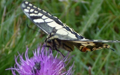 Le grand_Machaon dans la lande de Bubry