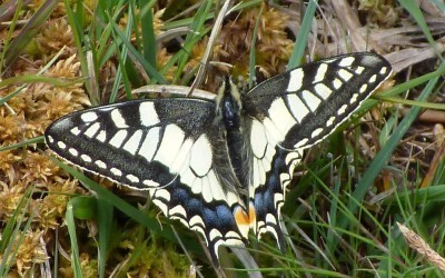 Grand_Machaon_lande_de_Bubry